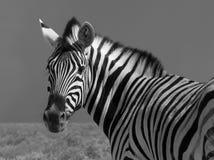 Free Zebra Stock Photos - 13487163