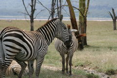 Zebra Royalty Free Stock Photo