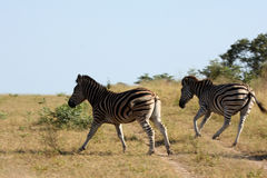 Free Zebra Stock Photos - 13577293