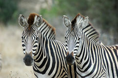Zebra. At Kruger national park, South Africa Royalty Free Stock Photography