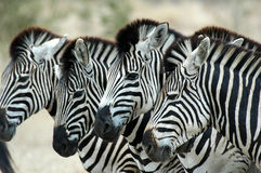 Zebra. S at Kruger national park, South Africa Royalty Free Stock Images