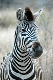 Zebra. At Kruger National park, South Africa Stock Photos