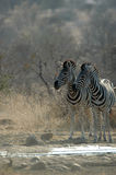 Zebra. In Kruger National park, South Africa Royalty Free Stock Photo