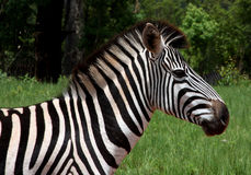 Zebra. A zebra in Swaziland, Africa stock photo