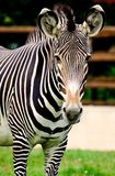 Zebra. In open air cage Stock Photography