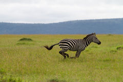 Zebra. Galloping in the Masai Mara Kenya Stock Images