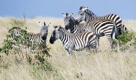 zebra Obraz Stock