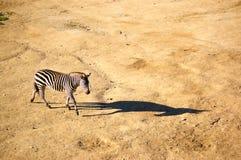 Zebra. A zebra with its long shadow Stock Photo