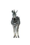 Zebra. Chiang mai night safari Stock Images