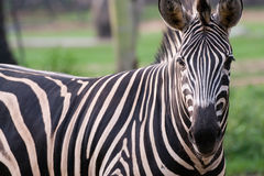 Zebra. A zebra is in open zoo, Thailand Stock Photos