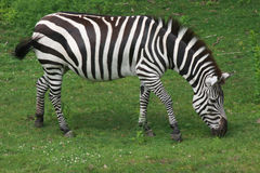 Free Zebra Royalty Free Stock Image - 14619686