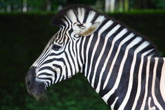 Zebra. Profile showing the 'mohawk' with faded background Stock Photos