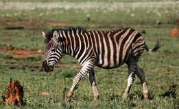 Zebra. Walking on green grass with animals in the background Royalty Free Stock Photo