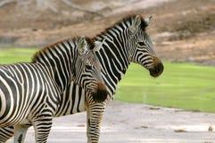 Zebra. In chiang mai night safari Stock Photo