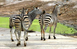 Zebra. In chiang mai night safari Royalty Free Stock Photography