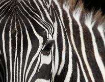 Zebra. Detail of the zebra's head Royalty Free Stock Images