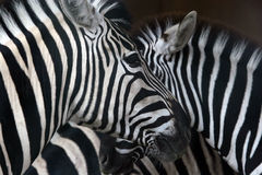 zebra Fotografia Royalty Free