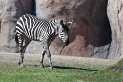 Zebra. Image of a Zebra walking next to a rock Royalty Free Stock Images