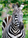 Zebra. Close-up picture of a zebra on a sunny day Stock Photography