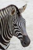 Zebra. Close up shoot of zebra head Royalty Free Stock Photography