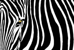 Zebra. A graphic zebra looks to the camera with one prominent yellow eye Stock Images