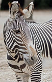 Zebra. Portrait of a zebra in profile Stock Images