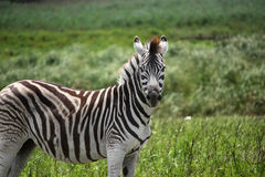 Zebra. Grass background african wildlife Royalty Free Stock Photos