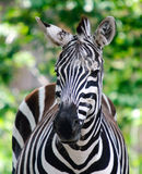 Zebra. Close-up picture of a zebra on a sunny day Royalty Free Stock Photo