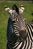 Zebra Fotografie Stock Libere da Diritti