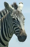 Zebra. The head of a zebra against plain blue sky stock photography