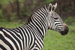 A Zebra Royalty Free Stock Photo