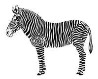 Zebra. On a white background Royalty Free Stock Photography