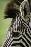 Zebra. A Zebras side profile showing off its unique black and white stripes. This image was taken in the Kruger National Park in Africa Stock Photos