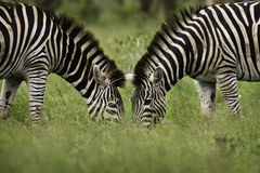 Zebra. A mirror image presents itself as two Zebras graze in the Kruger National Park, Africa Royalty Free Stock Photo