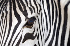 Zebra. Stripes close-up in Badoka Park Royalty Free Stock Photo