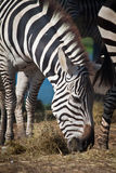 Zebra. A group of zebras are having their breakfast in the morning Stock Photos