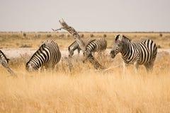 Zebra. Safari Etosha, Namibia Africa Royalty Free Stock Image