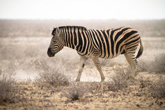 Zebra. Walking in dust,safari Etosha, Namibia Stock Photo