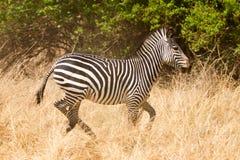 Free Zebra Stock Photography - 18390232