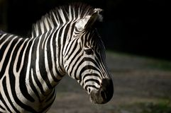 Zebra Royalty Free Stock Image