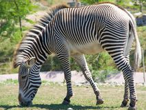 Zebra. Full frame closeup of black and white striped zebra grazing on grass Royalty Free Stock Image