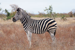 Zebra. African zebra in its natural environment royalty free stock photography