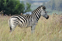 Zebra Immagini Stock