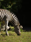 Zebra. A zebra in the Adelaide zoo, South Australia grazes on the grass Royalty Free Stock Photography
