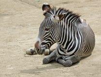 Free Zebra Royalty Free Stock Photography - 19122477