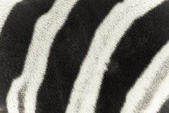 Zebra. Background, white and black Stock Photo