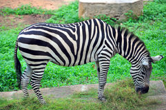 Zebra. Plains zebra (equus quagga) is also known as the common zebra or burchell's zebra, is the most common and geographically widespread species of zebra. this Stock Photos