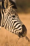 Zebra #2 Royalty Free Stock Images