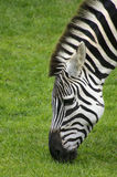 Zebra 2. Zebra grazing (profile Royalty Free Stock Photos