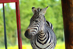 Zebra 2. Zebra close-up Royalty Free Stock Photo